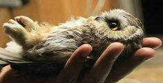 Sawhet owl...look at his little feet!!