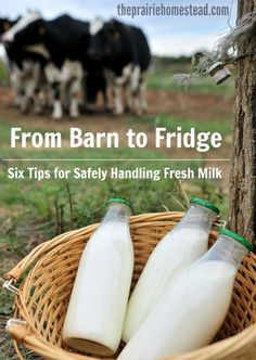 Six tips for safely handling your fresh milk after you get it out of your cow or goat. (and how to keep it fresh tasting too!):