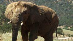 Toronto Zoo Elephants find happy retirement at PAWS Sanctuary