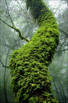 Alex Bain moss covered tree
