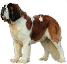 Dog Breeds Saint Bernard Price In India