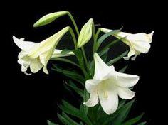 Resultado de imagen para plantas azucenas dobles