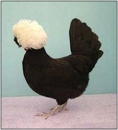 excited for my new Polish Hen :) such a funny looking chicken. http://media-cache9.pinterest.com/upload/237987161528883992_tWCKRZXT_f.jpg morganp16 farm and garden