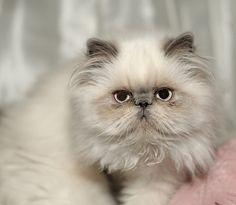 Persian Cat Gallery - Cat's Nine Lives Pretty Cats, Beautiful Cats, Animals Beautiful, Cute Animals, Himalayan Persian Cats, Himalayan Cat, Cute Cats And Kittens, Kittens Cutest, Persa Cat