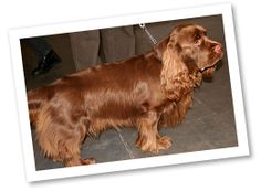 Sussex Spaniel: These little spaniels originated in England in the late 18th century. They were originally used as sporting dogs who would assist hunters and bark when their good nose found a trail. However, their barking and lack of speed led them to lose their jobs as hunter's companions, and Sussex Spaniels became favored just as companions.