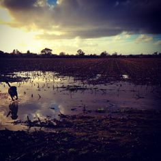 Simmy and his reflection ricochet into view on the left hand side breaking the perfect stillness of the field floods which the sodden land holds. The sparse and barren land has it's own beauty. #land #landscape #winter #water #dog #reflection #beautiful #view #scene #puddle #field #winter #nature #bucolic #sky #clouds #harsh #november #labrador #simmy #clouds #sunset #dusk