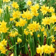 Miniature Daffodil Bulbs Tete-a-Tete | Narcissus | Large Healthy Bulbs for the Biggest Blooms