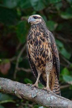 Great Black-Hawk juvenil (Buteogallus urubitinga)