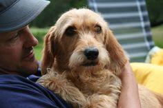Adoorable Basset Fauve de Bretagne Dog