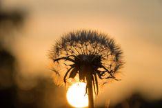 white Dandelion flower at sunset HD wallpaper