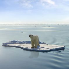 Polar bears have rougher times coming as the Arctic sea ice is melting and climate change is taking its toll on them and their environment. Polar Bear On Ice, Polar Bear Face, Polar Bears, Save The Arctic, Sea Ice, Arctic Ice, Sea Level Rise, Global Warming, Climate Change