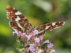 Landkaartje Foto en tekst: Bert van Beek Cute Butterfly, Animals, Animales, Animaux, Animal, Animais