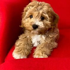 Cavapoo (Complete Breed Guide For New Owners) Cavapoo Puppies, Cute Puppies, King Charles Spaniel, Cavalier King Charles, Small Dog Breeds, Small Dogs, Cavapoo Full Grown, Ear Cleaning