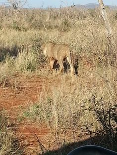we came upon a pride of lions that had made a kill of a wilderbeast and were feasting on it.