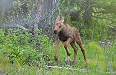 Baby moose frolicking!!!!!!