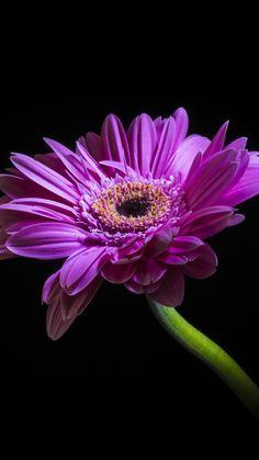 Exotic Flowers, Real Flowers, Amazing Flowers, Beautiful Flowers, Gerbera Flower, Macro Flower, Flower Art, Purple Daisy, Gerber Daisies