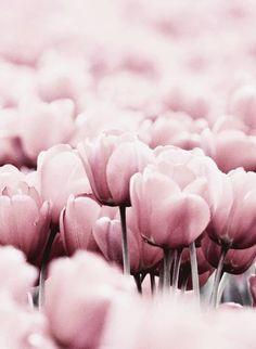 Поляна нежно-розовых тюльпанов