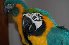 16 Best umbrella cockatoo images in 2012 | Cockatoo, Birds