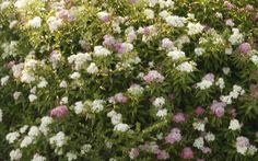 SPIRAEA japonica 'Shirobana' Plants, Garden, Japonica, Stone Wall