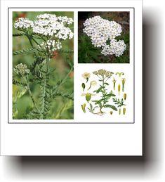 PLANTE MEDICINALE – COADA-ȘORICELULUI Flora, Plants, Plant, Planets