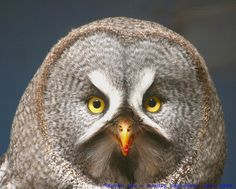 . Great Grey Owl