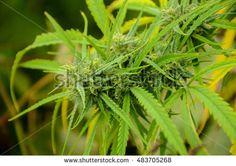 top Bud on Marijuana outdoor plant