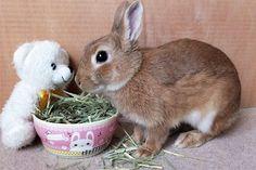 Ichigo san 472 いちごさんうさぎ rabbit bunny netherlanddwarf brown cute pet family ichigo ネザーランドドワーフ ペット いちご うさぎ