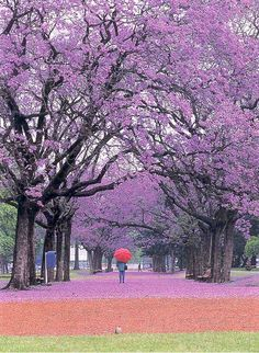 A walk through some jacaranda trees in a park in Buenos Aires on a rainy day. Too bad the umbrella is red. (a postcard I bought in Bs.As.)