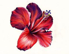 colored pencil drawing of flower - Google Search