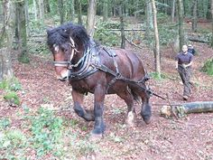 "C/o National Trust Dartmoor on facebook: ""William the Ardenne horse with Will Hampton horse logger extracting timber from Hembury woods near Buckfast. This beautiful, powerfull horse is helping with essential conservation management. William causes very little damage working in an area packed with blubells in the spring."""
