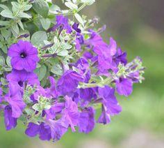 Tipos de petunias y todos sus cuidados para escoger cuál es la que mejor te conviene. Recuerda que esta planta es ideal para decorar todos tus espacios.