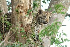 Speculation as to who the father is of the new litter of leopard cubs at Cheetah Plains.
