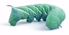 Hornworms aka goliath worms: what to know about them... http://wu.to/bAW1vs