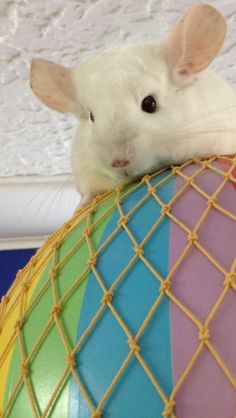Up, Up and Away ... Off she goes ... #chinchilla