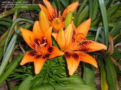 Full size picture of Asiatic Lily 'Orange Art' (Lilium)