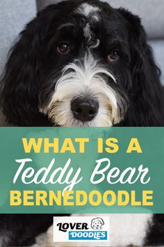 What is a teddy bear bernedoodle? Here is a complete history on how this fun doodle got its name! #Bernedoodle #TeddyBearBernedoodle #DoodleBreeds