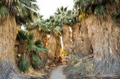 Take this short hike to explore a beautiful palm tree oasis in the stark desert that is the Salton Sea. At less then a mile this is a great way to explore the area on foot.
