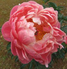 Coral Charm peony ~ beautiful! Coral Charm Peony, Growing Peonies, Paper Peonies, Flower Farm, Northern California, Beautiful Flowers, Wedding Flowers, Bouquet, Bloom
