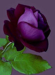 ✯ Beautiful Purple Rose