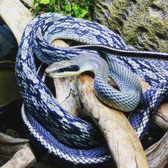 Polubienia: 21, komentarze: 0 – Great Lakes Herpetology (@greatlakesherpetology) na Instagramie