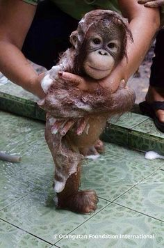 In case you are having a bad day, here is a baby Orangutan getting a bath. You& welcome In case you are having a bad day, here is a baby Orangutan getting a bath. Cute Funny Animals, Cute Baby Animals, Animals And Pets, Wild Animals, Cute Creatures, Beautiful Creatures, Animals Beautiful, Baby Orangutan, Chimpanzee