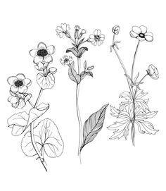 single stem wildflower drawings - Google Search