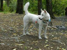 Pretty white husky