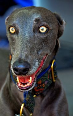 Greyhound - Those eyes!