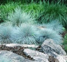 How to create a landscape that is not only stylish but will resist pesky deer. That grass  is blue fescue.
