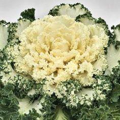 Emperor White Ornamental Kale Fruit Garden, Vegetable Garden, Flowering Kale, Ornamental Kale, Autumn, Fall, Emperor, Garden Design, Nursery