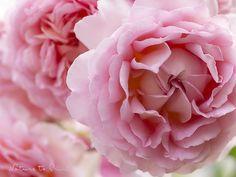 Rosen für die Queen und für mich.
