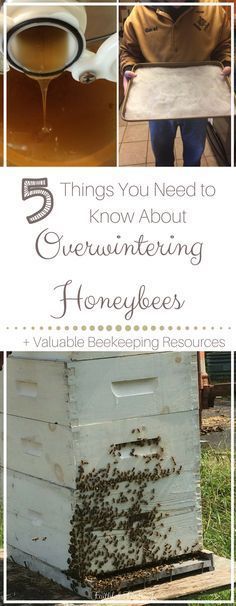 Keeping bees healthy in winter is crucial for sustainable beekeeping. Find out what you need to know about overwintering honeybees in your apiary!