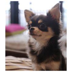 2015.9.16 prune パピーの頃からずっとホームポジションはおすわりのプルーン 疲れないのかな #chihuahua #chihuahualove #dogstagram #instapet #instachihuahua #dog #puppy #チワワ #チワワ部 #ふわもこ部 #犬バカ部 #ブルータン #ロンチー #犬 #子犬 #癒し