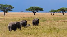 Vote for my photo: Elephants in the Serengeti